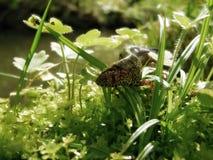 Newt op het gras Stock Foto's