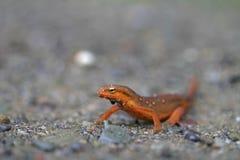 Newt rouge d'Eft Photos stock