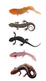 Newt salamander collection Royalty Free Stock Image