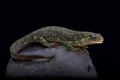 Newt veteado pigmeo (pygmaeus del Triturus) Fotografía de archivo libre de regalías