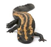 Newt Warty de Laos, laoensis de Paramesotriton Fotos de Stock