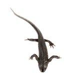 Newt on the white background. (Triturus vulgaris royalty free stock photo