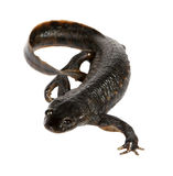 Newt on the white background. (Triturus vulgaris Royalty Free Stock Photo