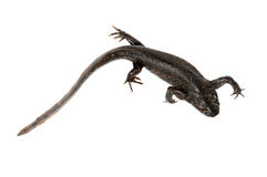 Newt on the white background Stock Image