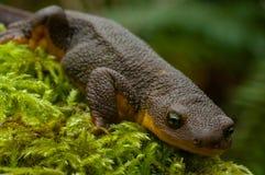 Newt y musgo Foto de archivo libre de regalías