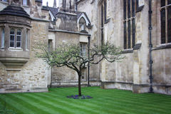 Newton`s apple tree. The Famous Apple tree in front of Newton's home in Cambridge, Great Britain Royalty Free Stock Image