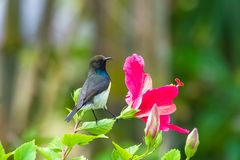 Newton`s sunbird, bird stock photo