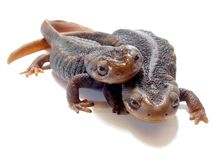 Newts Stock Photography