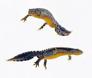 Newts swimming isolated on white. Two newts swimming isolated on white royalty free stock photo
