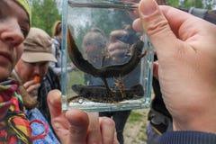 Newts Triturus Стоковые Фото