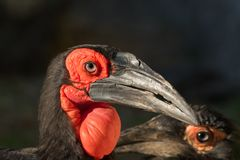 Portrait of hornbill (Bucorvus Leadbeateri) with a big red bag under the beak and black background royalty free stock photos