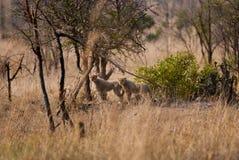 Cheetah cubs Royalty Free Stock Images