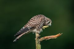 Next step of the young european kestrel Stock Photo