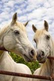 Nez Arabe de deux beau chevaux à flairer Image libre de droits