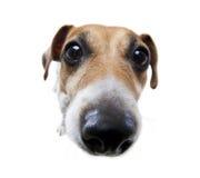 Nez de chien drôle Images libres de droits