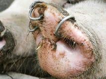 Nez de porcs image stock