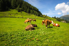 Äng med kor i alpbergen Royaltyfri Foto