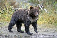 Ng van grizzlyfishi rivier Stock Afbeelding