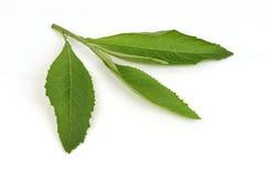 Ngai Camphor, leaves. Stock Photos