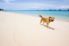 Ngai Island. The dog at beautiful island in andaman sea, thailand Royalty Free Stock Photography