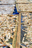 NGAPALI, MYANMAR- SEPTEMBER 25, 2016: The process of drying fresh fish in the sun, an ancient method of food preservation in Ngapa Stock Photos