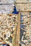 NGAPALI, MYANMAR 25 SEPTEMBRE 2016 : Le processus de sécher le poisson frais au soleil, une méthode antique de conservation des a photos stock