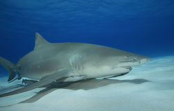 Négaprion brevirostris/LEMON SHARK Stock Photo