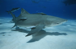 Négaprion brevirostris/LEMON SHARK Royalty Free Stock Photography