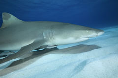 Négaprion brevirostris/LEMON SHARK Stock Image