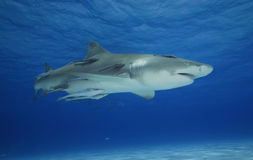 Négaprion brevirostris/LEMON SHARK Stock Photography