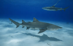 Négaprion brevirostris/LEMON SHARK Royalty Free Stock Images