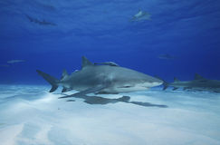 Négaprion brevirostris/LEMON SHARK Royalty Free Stock Image