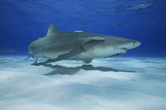 Négaprion brevirostris/LEMON SHARK Stock Photos