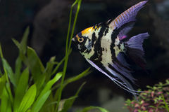 Ängelfisk i grönt akvarium Royaltyfri Fotografi
