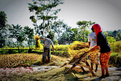 Ngerampek. The traditional way to harvest the rice in lombok Stock Images