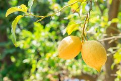 Lemon garden of Sorrento. Nging Lemon Fruits in Lemon garden of Sorrento at summer royalty free stock photo