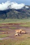 Ngorongoro国家公园,狂放的狮子家庭。 库存图片