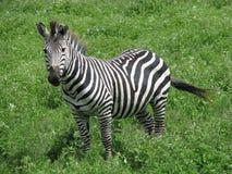 ngorongoro坦桑尼亚斑马 库存照片