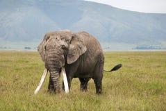 Ngorongoro极大的大象,坦桑尼亚 免版税库存图片