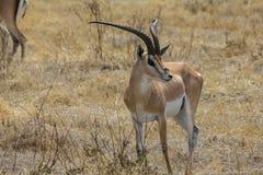 Ngorongoro火山口徒步旅行队 库存图片