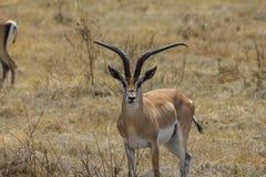 Ngorongoro火山口徒步旅行队 免版税库存图片