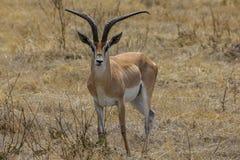 Ngorongoro火山口徒步旅行队 免版税库存照片