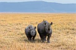 ngorongoro犀牛 免版税库存照片