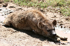 ngorongoro Танзания hyena кратера Африки Стоковые Фото