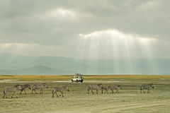 Zebras in Ngorongoro Crater. Zebras and Land Rover in Ngorongoro Crater, Tanzania, Africa Stock Photos