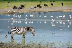Ngorongoro 库存照片
