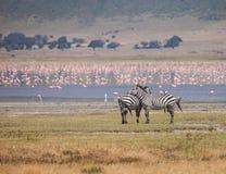 Ngorongoro Conservation Area. Zebra in Ngorongoro Conservation Area. Animals in wildlife for background Stock Images