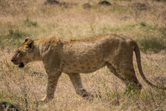 Ngorongoro Conservtion område, Tanzania - lejon Royaltyfri Foto