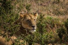 Ngorongoro Conservtion område, Tanzania - lejon Arkivfoton
