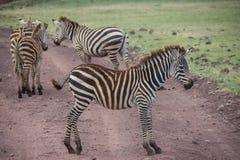 Ngorongoro Conservtion område, Tanzania - sebror Royaltyfri Foto